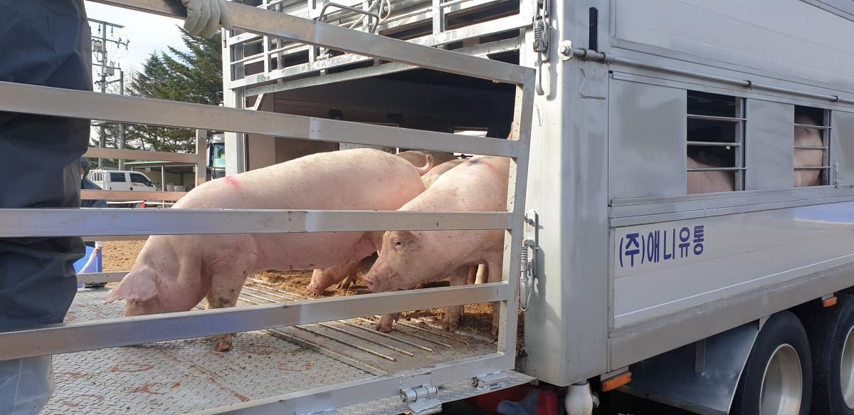 환적장에서 이동트럭으로 돼지를 옮겨싣는 모습
